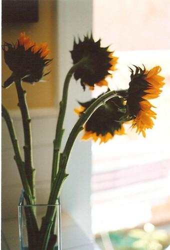 sunflowerspbr 002