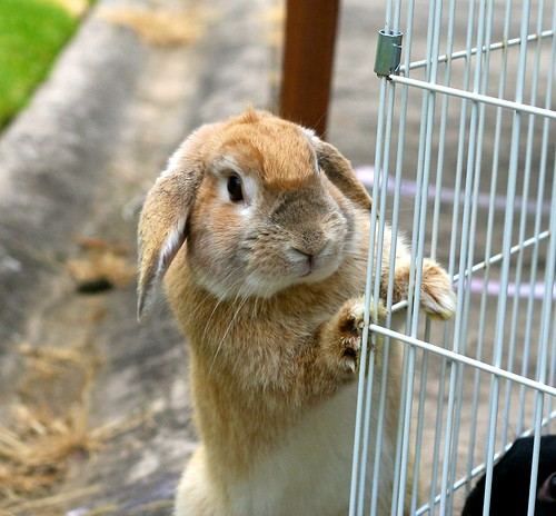 フリー写真素材 動物 哺乳類 ウサギ科 兎・ウサギ 覗く 