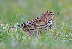 POV (Andrew Haynes Wildlife Images) Tags: nature rugby wildlife warwickshire meadowpipit draycotewater canon7d ajh2008