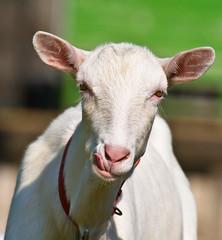 Nanny Goat Portrait (aeschylus18917) Tags: portrait nature japan nikon nanny goat doe 日本 saitama bovidae hanno pxt saitamaken 埼玉県 nannygoat 200400mm caprinae 200400mmf4gvr saitamaprefecture capraaegagrushircus d700 ダニエル danielruyle aeschylus18917 danruyle druyle 武蔵横手 ルール ダニエルルール 飯能市 hannō hannōshi musashiyokote 200400mmf40gvr