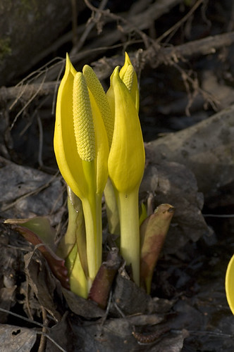 skunk.cabbage.1