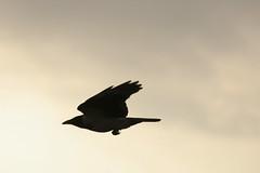 Hooded crow (mellting) Tags: bird crow hoodedcrow corvuscornix flyingbird fantasticnature bloggad ekebyvtmark mellting matsellting