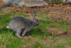 Proper Form (pixel_bunny) Tags: cute bunnies rabbits toffee followmynose