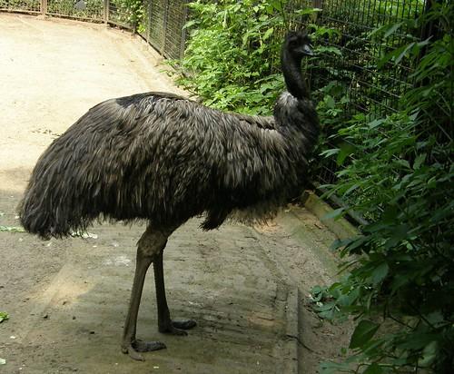 Emu in Artis