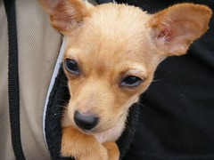 A puppy in a purse (-Mainframe-) Tags: dog pet art animal june festival puppy mixed nebraska fuji farmersmarket purse finepix omaha mixedbreed s700 2007 artfestival omahaflickr s5700 chaweenie upcoming:event=192841