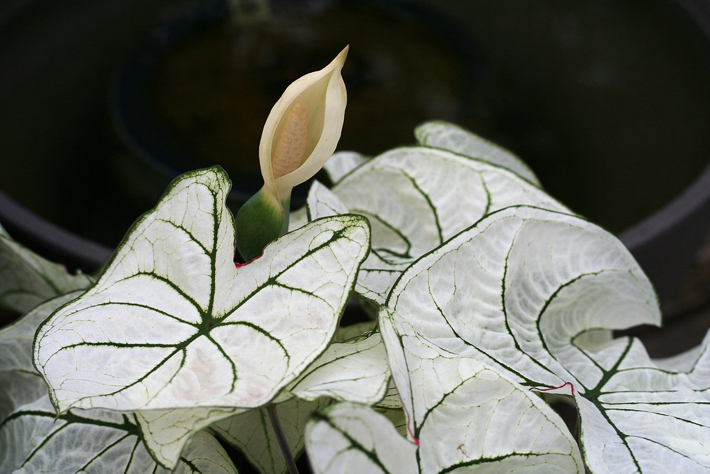 Caladium Flower