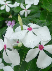 Vinca in Rain (Room With A View) Tags: flowers macro explore raindrops 102 vinca naturesfinest