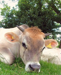 Sometimes a cow can't be arsed...:O) - Dedham, Essex, England - Monday July 9th 2007 (law_keven) Tags: england animal cow milk horns moo essex bovine dedham gotmilk impressedbeauty aplusphoto superhearts thetearsofacow