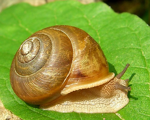 Snail by pellaea, on Flickr