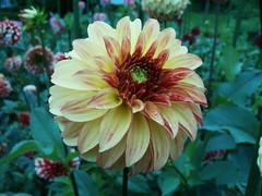 8-15-07 (9) (jlohun) Tags: county dahlia flowers color nature parks elkhart