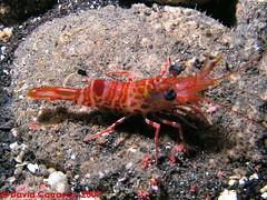 p1015156ad8 (coismarbella) Tags: mergulho dive scuba diving buceo submarinismo tauchen plonge crustaceos canariasbuceo