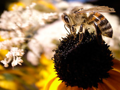 Bee (Nathan Gallagher) Tags: france macro bee grd thebestyellow summercountryfrancegrd