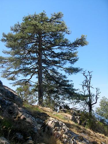 La brèche à l'W de la pointe 1182 m et son pin laricio