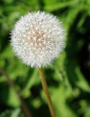 IMGP0047-55mm Dandelion - Pissenlit   (Rolye) Tags: garden jardin dandelion picturesque pissenlit