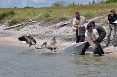 Rescued Pelicans Returned to the Wild (Deepwater Horizon Response) Tags: coastguard rescue texas wildlife pelican bp oilspill uscg