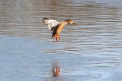 Shoveler (Andy_Hartley) Tags: uk england bird nature birds animals photo europe wildlife sigma warwickshire brandonmarsh canon450d sigma150500