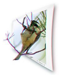 Bird in the Pine (2D-3D Conversion) (starg82343) Tags: bird nature animal pine photoshop outside effects stereoscopic 3d md branch conversion outdoor wildlife brian maryland manipulation anaglyph ps chick stereo wallace fowl pasadena fx winged sfx feathered stereoscopy stereographic 2d3d brianwallace stereoimage stereopicture