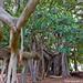 Ficus Macrophilla