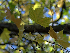 Autumn Bokeh (rosyrosie2009) Tags: uk autumn trees england beautiful leaves closeup photography flickr bokeh explore colourful 70300mm tamron explored bokehlicious tamron70300mmlens nikond5000 rosiespooner rosyrosie2009 rosemaryspooner rosiespoonerphotography