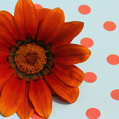 Flaming June (cattycamehome) Tags: flowers blue summer orange flower colour macro june tag3 happy fire gold golden petals bravo tag2 all tag1 bright quote turquoise  petal polkadots spotty rights gazania pollen flaming reserved polkadot dotty flamingjune gazanias oscarhammerstein catherineingram flowerotica june2007 abigfave cattycamehome allrightsreserved