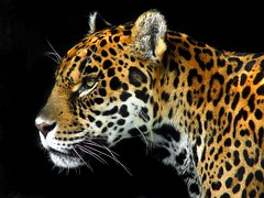 Panthera onca. (muzina_shanghai) Tags: animal animals zoo artistic wcw  dierentuin tennojizoo hayvanatbahesi zoological  dragarur naturesfinest felidae dyrehage giardinozoologico elintarha  llatkert felinae  parczoologique ogrdzoologiczny    osakamunicipaltennojizoo avisittothezoo anawesomeshot aplusphoto  zoolgic jardnzoolgico kebunbinatang zoolokivrt bustaniyawanyama zoologickzhrada jalalspagesanimalkingdomalbum  thebestpool dieretuin onephotoweeklycontest flickrestrellas llovemypic   goldenheartaward zoologijossodas naturescreations flickrbigcats  zoologiaardeno    myzoology allofnatureswildlifelevel1 allofnatureswildlifelevel2