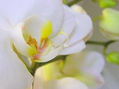 Fragility (Sylvia...Sometimes) Tags: flowers orchid bokeh birdpoem brillianteyejewel