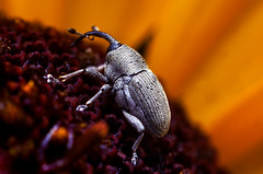 Weevil on a Flower (Thomas Shahan) Tags: macro eye bug insect 50mm prime compound eyes close asahi pentax beetle reversed dslr ist smc bellows dl weevil opo macrophotography boll f17 terser opoterser