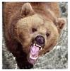 Al-Bear R