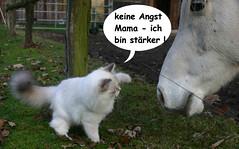 Don't worry Mom - I'm powerful (Raymonde) Tags: cats pets kitten katzen siberiancat katzenkinder nevamasquarade