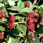 blackberries thumbnail