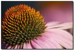 Echinacea - by Roger Lynn