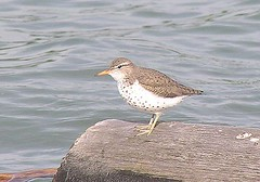Spotted sandpiper (hairstyleca) Tags: birds alberta sp550