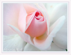 Angel's wings (Marie Eve K.A. (Away)) Tags: xmas pink plants white flower macro nature rose angel season flora bravo soft heart framed petal romantic botanic gr lover elegant simple  ricoh breathtaking gentle elegance  excellence    naturesfinest    lovelyflowers   platinumphoto superbmasterpiece  flickrdiamond  nontrimming