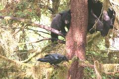 anan toy (bud_marschner) Tags: bear black creek raven anan alaksa