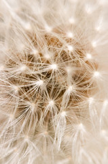 Dandelion Head Background (PICDISK | Stock Photo Backgrounds) Tags: pictures flowers wild portrait white plant abstract blur flower detail texture clock nature vertical closeup photography photo blurry beige weed soft pattern natural bright image time photos background cream picture seed blurred images dandelion seeds textures seedhead vegetation bloom backgrounds depth imagery blurring picdisk