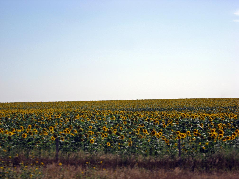 Kansas_Sunflowers