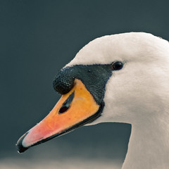 Captain Beaky (Dan Baillie) Tags: orange white bird square scotland swan nikon head beak portfolio animalplanet muteswan stranraer dumfriesandgalloway puddock wigtownshire abigfave danbaillie vosplusbellesphotos bailliephotographycouk bailliephotography wigtownshirephotographer dumfriesandgallowayphotography