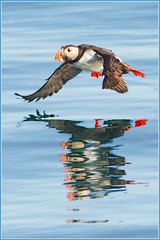 Double delight (hvhe1) Tags: blue sea cliff reflection bird nature island mirror iceland bravo wildlife flight puffin seabird interestingness2 flatey papegaaiduiker specanimal hvhe1 hennievanheerden
