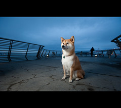 Dog Meets Dusk - 42/52 (kaoni701) Tags: sf sanfrancisco street portrait urban dog night project japanese nikon cityscape dusk promenade embarcadero suki shibainu vr week42 1635 shibaken  pier14 d700 sb900 52weeksfordogs