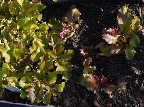 Lettuce Frilly Pink