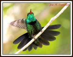 1-Descuaje total ante la vida es lo que anhelo!!! Esteriquemonos todos al mismo tiempo como esta esmeralda endemica  para alejar la tristeza!!!!Ella lo hace en 9 fases de las cuales yo habia mostrado dos.Zumbador esmeralda-Chlorostilbon swainsonii. (Cimarrn Mayor !!!7,000.000 DE VISITAS, GRACIAS!!) Tags: naturaleza verde bird fauna dominicanrepublic sierra recuerdo ave luchador libre republicadominicana oiseaux montaas poeta panta guerrero escritor homenaje poesa dominicano destellos dedicacin josmart endmica zumbador endemica bahoruco acaros canoneos7d sierradebahoruco canon7d zumbadoresmeralda chlorostilbonswainsonii aceitillar libertee cimarronmayor residentereproductor telefoto700 endmicadelahispaniola aceitillarsierra4 descuaje esrubiaconelcabellosuelto