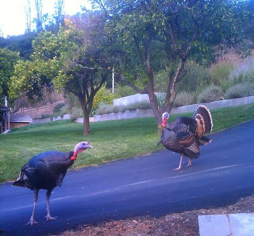 Turkeys at Love Apple Farm