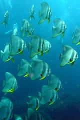 School of Longfin batfish - Koh Tao, Thailand (_takau99) Tags: ocean trip travel school sea vacation holiday fish uw nature water june topv111 thailand lumix topv555 topv333 marine asia southeastasia underwater wildlife topv999 topv444 dive scuba diving topv222 panasonic thai samui tropical scubadiving bigblue tao topv666 kohtao kotao 2007 batfish gulfofthailand chumphon topf5 fx30 platax  longfin takau99 plataxteira chumpornpinnacle chumphonpinnacle teira longfinbatfish dmcfx30 lumixfx30
