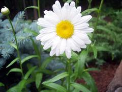 daisy best