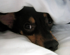 A very cute day (jmbead) Tags: dog pet chihuahua love dogs woof nose bed nap sweet pair double sheets hidden trouble chi covers sparky doggies playful gooddog alpharetta huahua pointyfaceddog