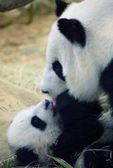 mei lan 1-31-07b (A Pandographer (Cassie)) Tags: bear baby cute animal panda fuzzy sweet lan mei zooatlanta atlantazoo lunlun meilan