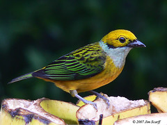 Silver-throated tanager (Jim Scarff) Tags: costarica silverthroatedtanager tangaraicterocephala