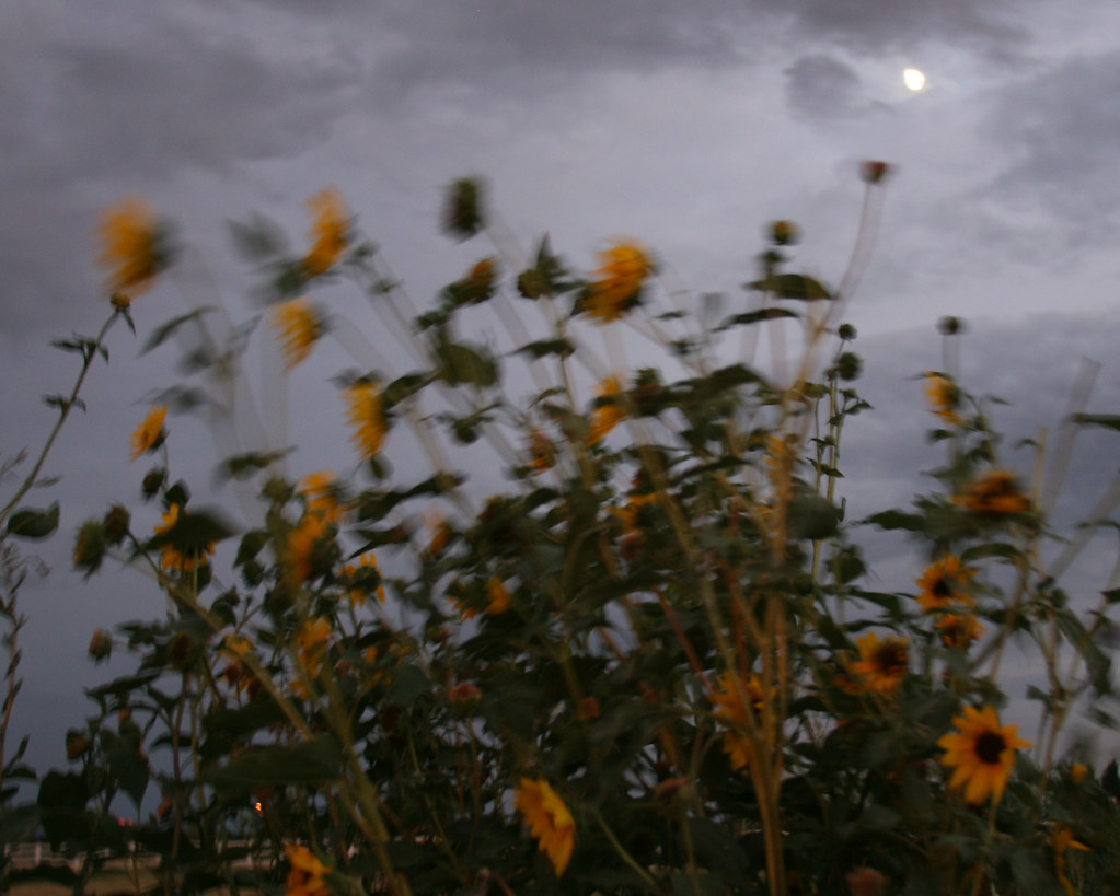 The sunflowers talk to the moon too