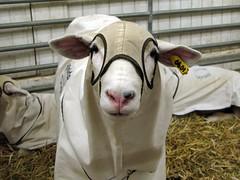 KKK Sheep