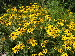 Black-eyed Susan (sbgulfcoast) Tags: flowers northcarolina blackeyedsusan